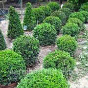 Самшит вечнозеленый шаровидный фото
