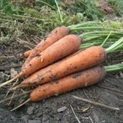 Морковь столовая свежая фото