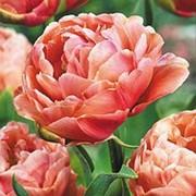Тюльпан Коппер Имедж фото