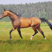 Лошади ахалтекинской породы/Akhal-Teke Horse фото