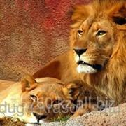 Картина стразами Лев и львица - 40х50см фото