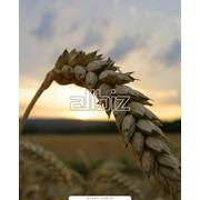 Пшеница фуражная 1 класс фото