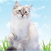 Питомник невских маскарадных котят фото