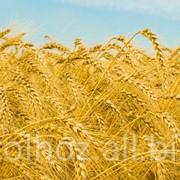 Пшеница многолетняя фото