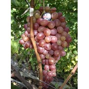 Виноград Кишмиш Находка Grapes Kishmish Nahodka фото