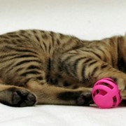 Бенгальский мини леопард, бенгальские котята фото