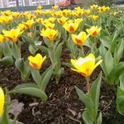 Алея тюльпанов фото