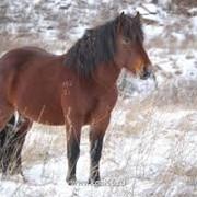Мясо конины фото