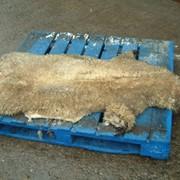 Шкура овцы. фото