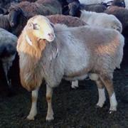 Овцы казахской породы, грубошерстные фото