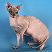Сфинксы коты фото