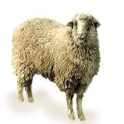 Покупаем баранов и овец для забоя фото