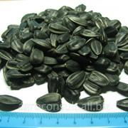 Семена подсолнечника гибрид Рембо (гранстароустойчив) фото
