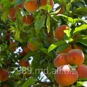 Персики в Кишиневе фото