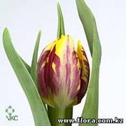 Тюльпан Rems Glory фото