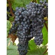 Виноград столовый от производителя фото