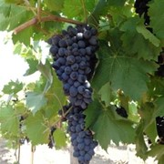 Виноград, Дыня, Яблоко,Груша, Арбуз, Помидор, Тыква фото