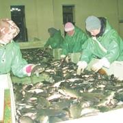 Переработка прудовой рыбы фото