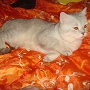 Вязка с британским голубым котом Адамом фото