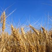 Пшеница, ячмень, кукуруза и зерно фуражное. фото