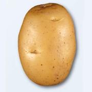 Продам Картофель сорта Агата фото