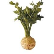 Корневой сельдерей (Apium graveolens rapaceum), импортная продукция ОПТОМ фото
