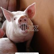 Разведение свиней,купить,Украина,Киев фото