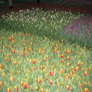 Тюльпаны к 8 марта фото