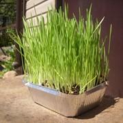 Пророщенная трава фото