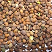 Семена Редьки масличной фото