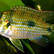 Томаси Anomalochromis thomasi Butterfly cichlid фото