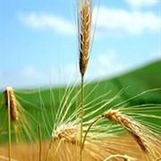 Пшеница 3 класса фото