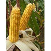 Семена кукурузы сорт ДКС 4490 фото