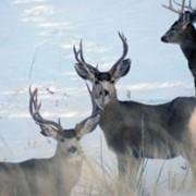 Трофейная охота на оленя-мула в Монтане фото