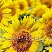 Семена подсолнечника Мираж фото