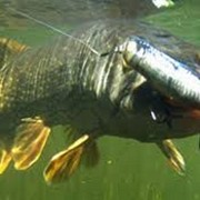 Рыбалка спортивная Житомирская область,ловля рыбы щука, карп, карась, белый амур, толстолоб, рыбалка за городом Житомир, рыбалка Кодня, рыбалка Вертокиевка. фото