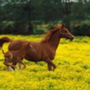 Лошади владимирские фото