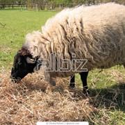 Овца Меринос фото