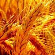 Семена озимого ячменя Достойный (1репродукция и элита ) фото