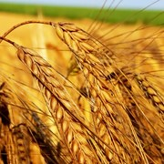 Продажа пшеницы оптом в Украине. фото