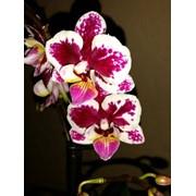 Орхидея Фаленопсис БЕЛО-БОРДОВЫЙ фото