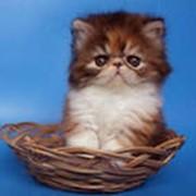 Кошки экзотические фото