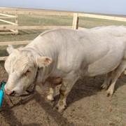 Порода аулиекольская крупного рогатого скота фото