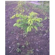 Саженцы акации,саженцы деревьев, саженцы, семена, продукция цветоводства, Судак фото