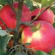 Яблоки Рено фото