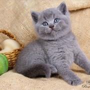 Голубые британские котята - Гавана и Гаити фото