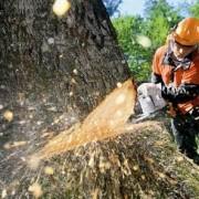 Валка деревьев фото