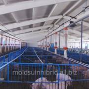 Свиньи мясных пород в Молдове фото