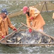 Материал рыбопосадочный, карп, толстолобик, амур фото