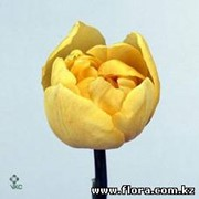 Тюльпан Boule d`or фото